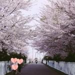 【決定版!】札幌で子連れお花見スポットおすすめ8選!子どもと楽しめる!