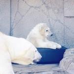 小さいうちに見ておきたい!円山動物園でホッキョクグマの赤ちゃん公開中!|札幌
