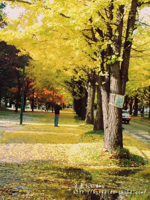 北海道大学のいちょう並木