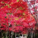 真っ赤なもみじのトンネルを歩こう!平岡樹芸センター、子どもも探検気分で紅葉狩り!|札幌