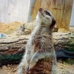 円山動物園、アフリカゾーンの紹介!かわいい姿だけどサソリも食べる!?|子どもとお出かけ【札幌】