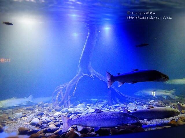 日本最大の淡水魚のイトウ。日本一の数!