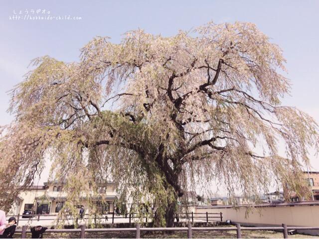 樹齢およそ300年、12メートルの高さのしだれ桜!!見事!