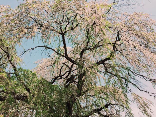 しだれ桜に視界が覆われるような迫力!