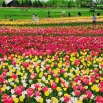 滝野すずらん公園のチューリップがきれい!感動の絶景スポットはここ!|札幌