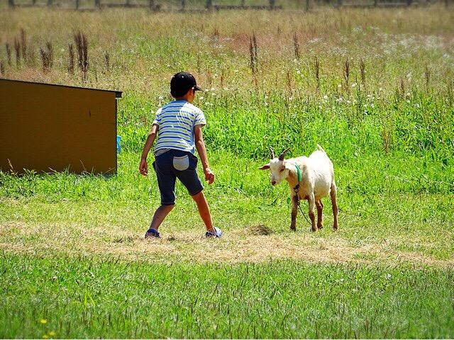 ヤギと戯れる息子