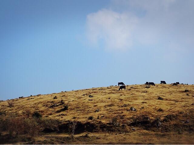 山の斜面に牛がたくさん