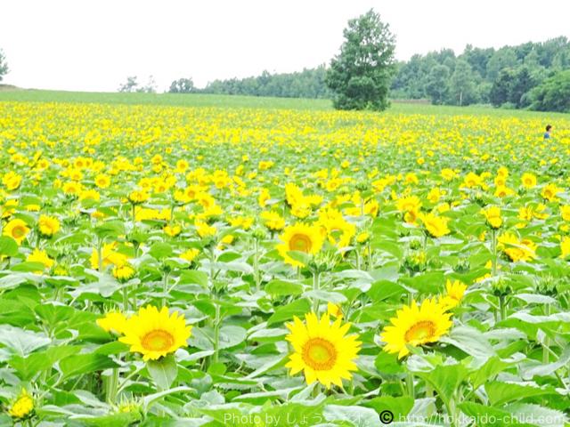 7月中旬で満開の北竜町のひまわり畑