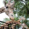 【宇都宮動物園】料金と割引・クーポン情報!遊園地やプールも!キリンの餌やり体験が楽しい